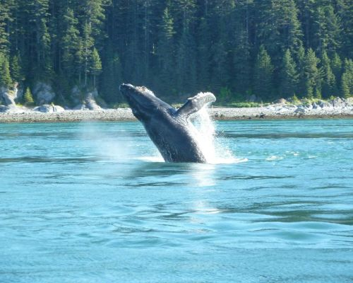Whale Watching/Bear Search Combo Tour