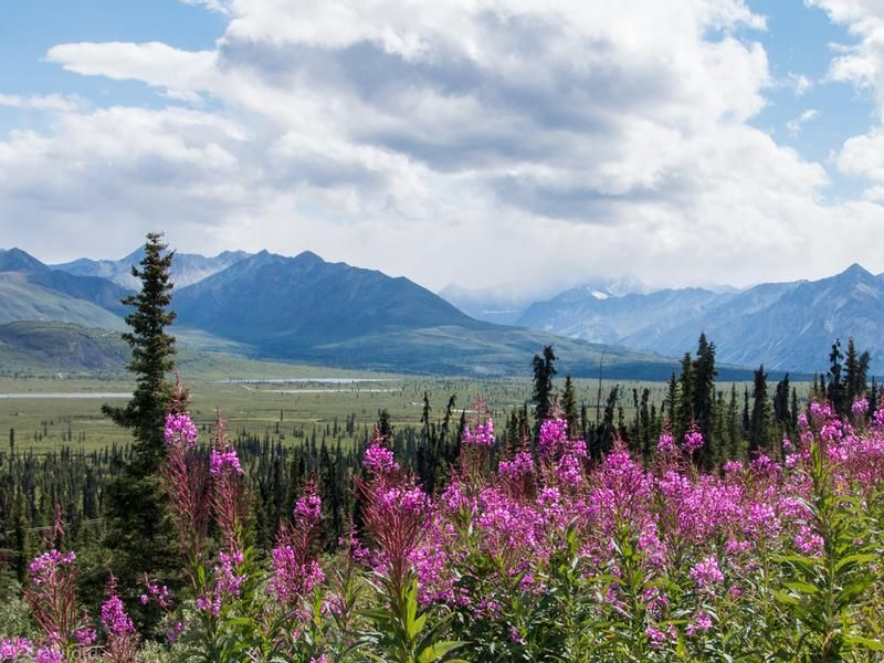 Alaskan Fireweed, The Flower That Brings Life After Death