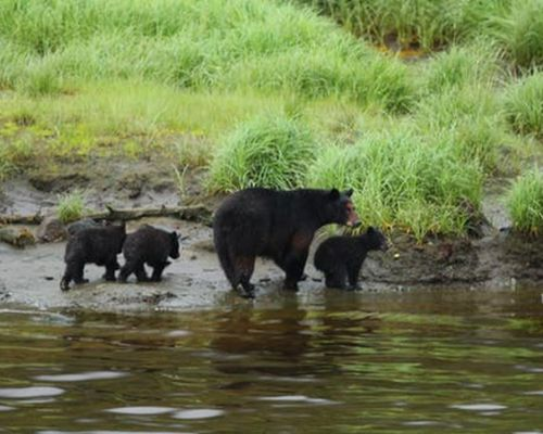 Expedition Black Bear Neets Bay