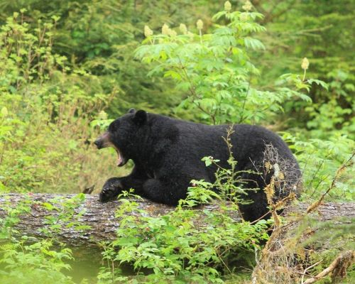 Black Bear & Wildlife Exploration