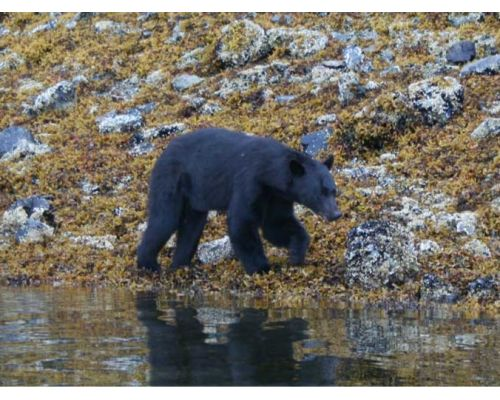 Prince of Wales Bear Viewing Tour