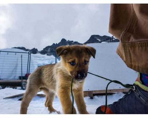 Juneau Dog Sledding Summer Camp